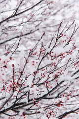 Snow covered cherry blossoms tree in winter