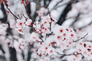 Springtime Flowers with Snow