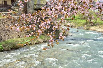 信州の春 大町市大出公園 川と山桜