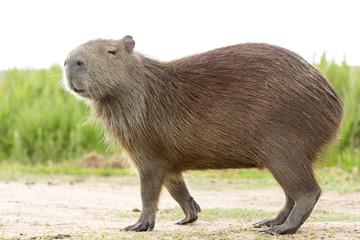 Capybara (Hydrochaeris hydrochaeris)
