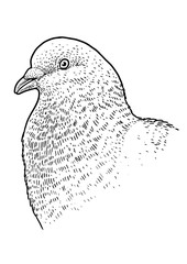 Pigeon head portrait illustration, drawing, engraving, ink, line art, vector