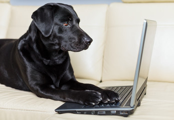 Black labrador using computer