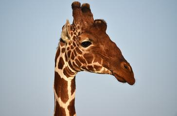 Giraffen Kopf