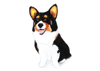 Welsh corgi cardigan, terrier. Watercolor illustration. Welsh corgi cardigan, black-brown color. A breed of strong build, a powerful and hardy dog on short paws.