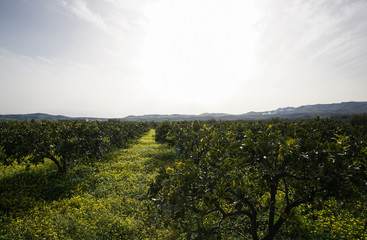 Sicilian orange farm with all oranges being collected