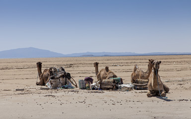 ethiopian camels at rest