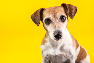 Amazing expressive eyes dog's portrait on yellow background. Jack Russell terrier is the best friend pet