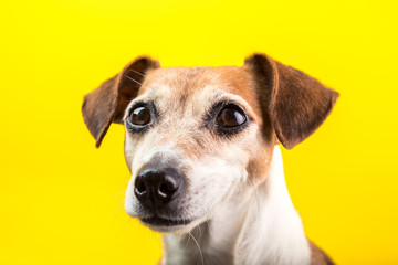 Adorable dog pup portrait on yellow background. Lovely pet face with beautiful eyes. Pet theme