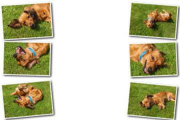 Collage on white background mixed spaniel dogs spaniel