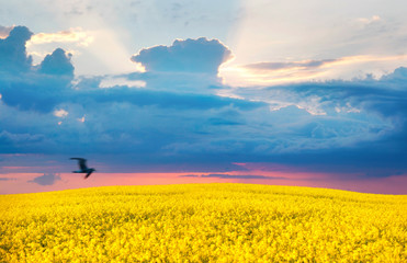 Fototapete - Stunning bright colorful landscape for wallpaper. Yellow field of flowering rape and a flying bird against sky with blue clouds at dawn. Natural landscape.