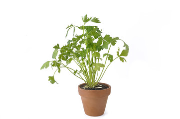 flat parsley in terra cotta  pot isolated on white background