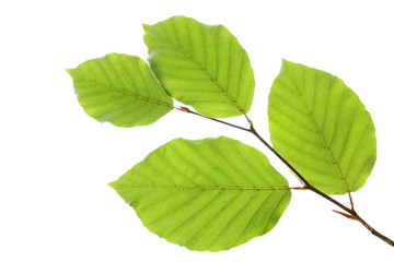Beech leaves isolated on white background, , including clipping path, Germany