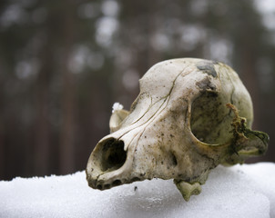 old skull animal in the forest