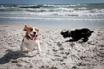 Dog beagle sea