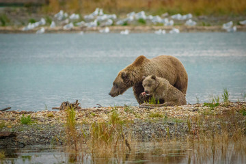 Mama-bear with her cub fishing in Brooks river in Katmai NP, Alaska