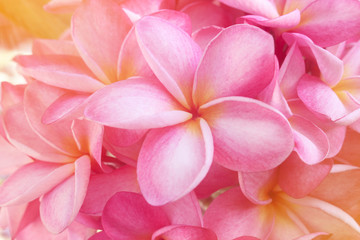 Foto op Canvas Frangipani Plumeria background is pink blooming.