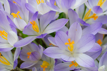 Photo close small spring flowers crocuses