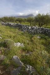 wilder Olivenhaun in Griechenland / Mani, Peloponnes