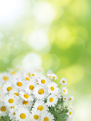 Daisy colorful flowers summer vertical background