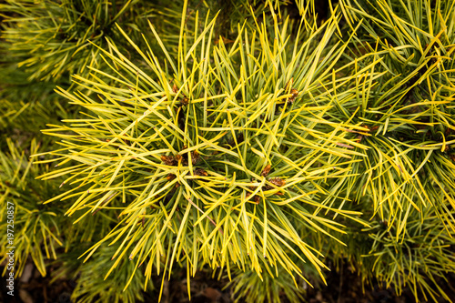 close up of gold pine tree branch pinus sylvestris aurea