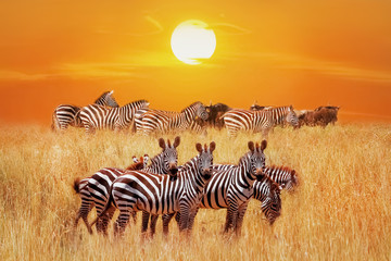 Group of african zebras at sunset in the Serengeti National Park. Africa. Tanzania. Artistic african fantastic image.