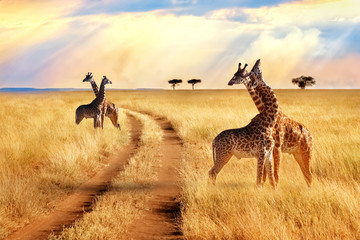 Wall Mural - Group of giraffes near the road in the Serengeti National Park. Sunset background. African safari.