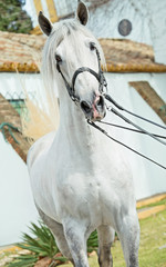 portrait of Andalusian stallion in dressage bridle