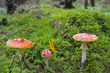 Three red speckled amanita grow in a forest on a green wet moss