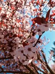 Blooming Sakura, cherry tree, sunny day at March, Portland Oregon USA