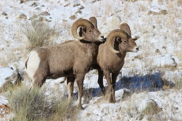 Bighorn Sheep in Grand Teton National Park in Winter