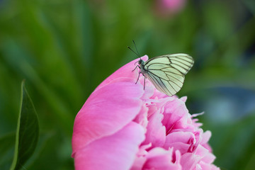 White butterfly (Aporia crataegi) sits on a peony flower in a green garden