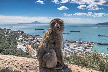 Barbary Macaque monkeys in Gibraltar