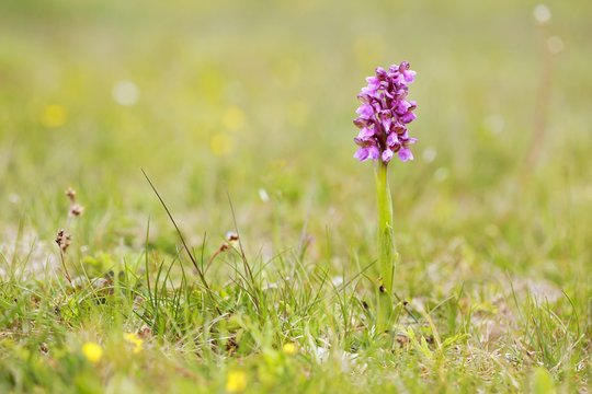 Orchis morio (Anacamptis morio) - precious endagered and protected purple flower growing in a grassy meadow, blurry background