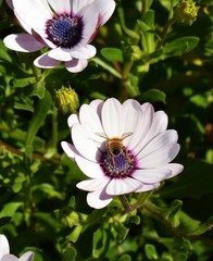 African daisy flower with a domestic bumble bee landing in the middle