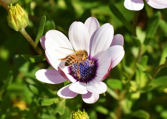 Closeup of a flying bumble bee in the middle of an African daisy