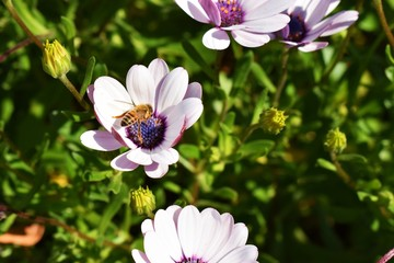 A bumble bee among the African daisy bushes