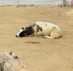 A sleeping black and white ram living on a farm
