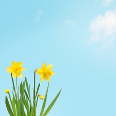 Nature spring Wallpaper with Yellow daffodils flowers