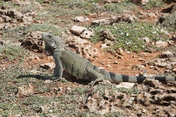 Large Iguana Hiding Withing Desert Rocks