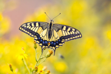 Butterfly Swallowtail on yellow background