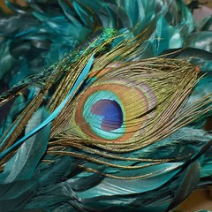 Gorgeous colorful peacock feather surrounded by teal feathers
