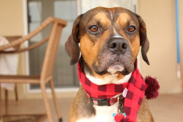 Beautiful portrait of a Mutt Dog with a red scarf on