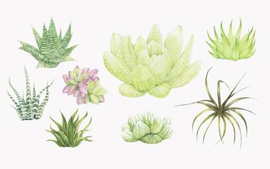 Hand drawn haworthia plants isolated on white background