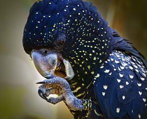 Australian Black cockatoo In Close Up