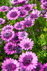 purple daisy plant
