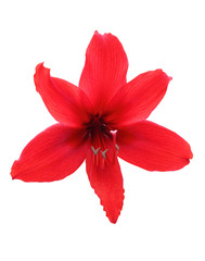 Amaryllis Hippeastrum flower isolated with clipping path.