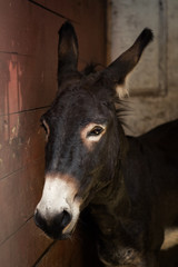 Portrait of a beautiful brown donkey in a stable stall
