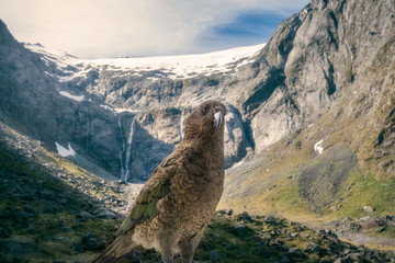 Kia, New Zealand's native parrot in front of snow-capped Mount Talbot, New Zealand