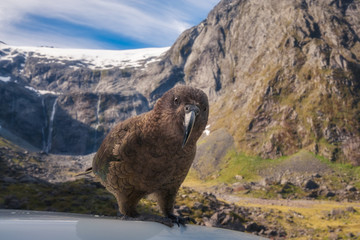 Kia, New Zealand's native parrot at Mount Talbot on Milford highway in New Zealand.