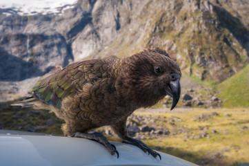 Very curious Kia -New Zealand's native parrot